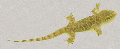Gecko photo and Haiku Copyright 2003 by Bobby Matherne