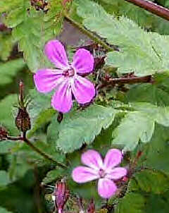 Geranium Robertianum, File Photo
