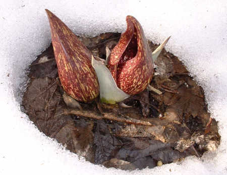 Skunk Cabbage melting the snow surrounding it with its own warmth, File Photo