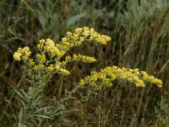 Solidago nemoralis, withered goldenrod, File Photo